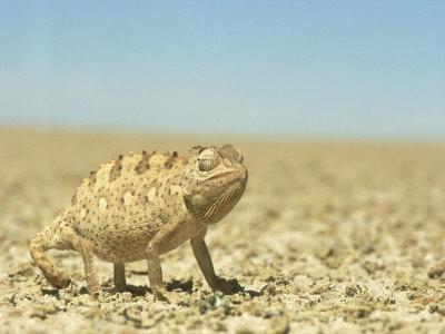 Namaqua Chameleon, Namib Desert, Nambia