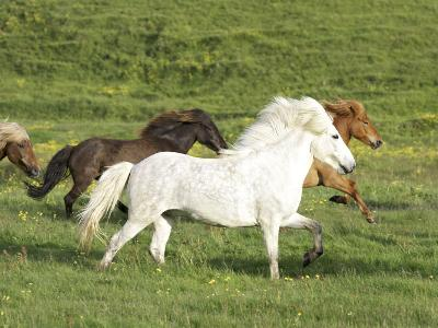 Icelandic Horses Running Across Meadow, Iceland