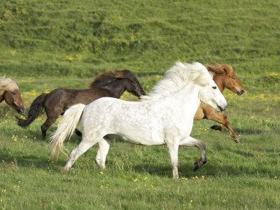 Icelandic Horses Running Across Meadow, Iceland