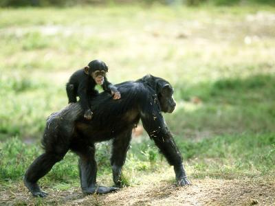 Chimpanzee, Baby on Back, Zoo Animal