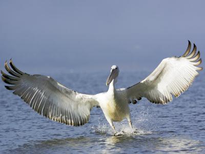 Dalmatian Pelican, Landing, Greece