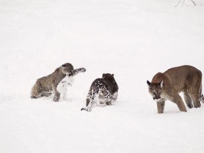 Mountain Lion, with Cubs in Snow, USA