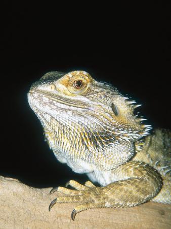 Bearded Dragon, Aquarium Animal
