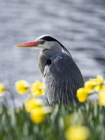 Grey Heron in Daffodils, London, UK