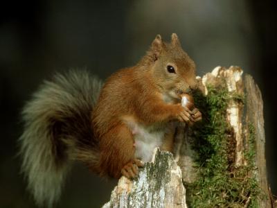 Red Squirrel, Summer Coat, Scotland