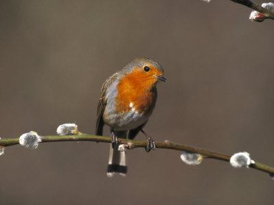 Robin, Perched on Pussy Willow, UK