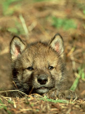 Grey Wolf, Pup at Den in Spring