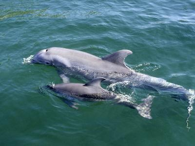 Bottlenose Dolphins Adult and Young, Honduras