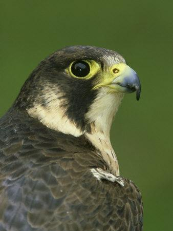 Peregrine Falcon, Falco Peregrinus Close-up Portrait of Female Captive