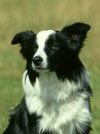 Border Collie, Nine Month-Old Dog Portrait