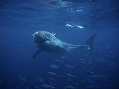 Great White Shark, Tagged, Pacific