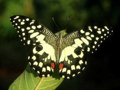 Common Lime, India