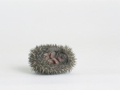 Hedgehog, Young