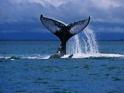 Humpback Whale, a Whale Tail Slapping, Sainte Marie Island, Indian Ocean