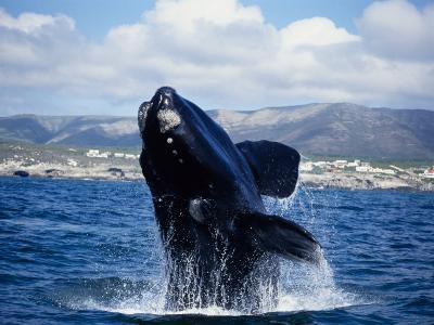 Southern Right Whale, Breaching, S Africa