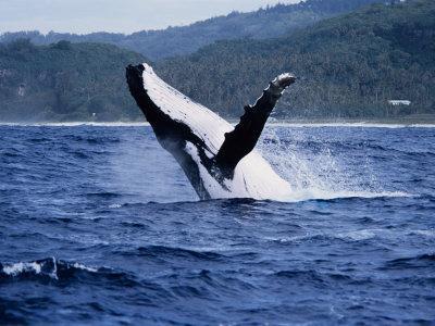 Humpback Whale, Breaching, Polynesia