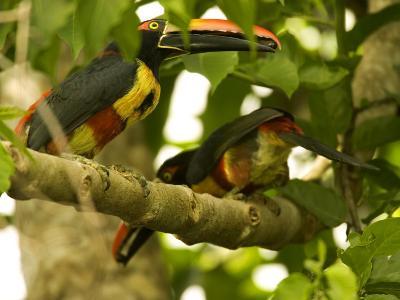 Fiery-Billed Aracari, Two Aracaris on Branch of Tree, Costa Rica