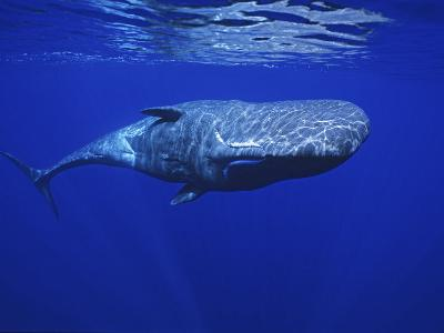 Sperm Whale, Under Surface, Azores, Portugal