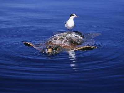 Loggerhead Turtle, with Tern on Back, Azores, Atlantic Ocean