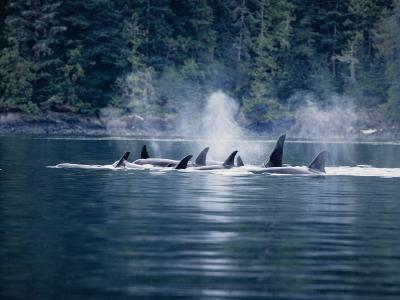 Killer Whale, Pod at Surface, BC, Canada