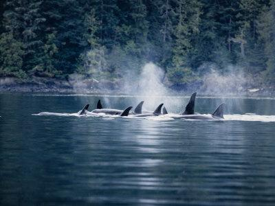 Killer Whale, Pod at Surface, BC, Canada