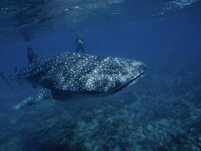 Whale Shark, with Diver, W. Australia