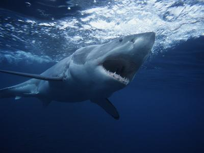Great White Shark, Swimming, South Australia