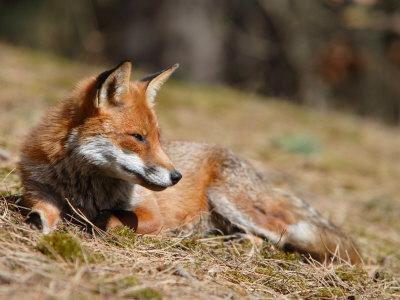 Red Fox, Young Male Fox Sun-Bathing, Lancashire, UK