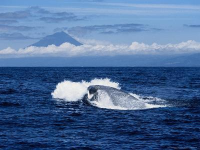 Blue Whale, Porpoising, Azores, Portugal