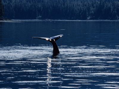 Humpback Whales, Raising Fluke at Surface, AK, USA
