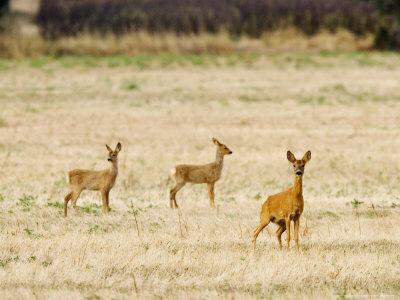Roe Deer, Doe and Two Fawns in Fallow Field, UK