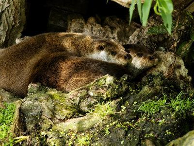 Pair of Otters Curled up at Base of a Willow Tree, Earsham, UK