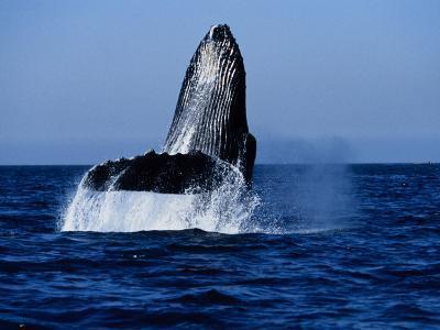 Humpback Whale, Hitting Water