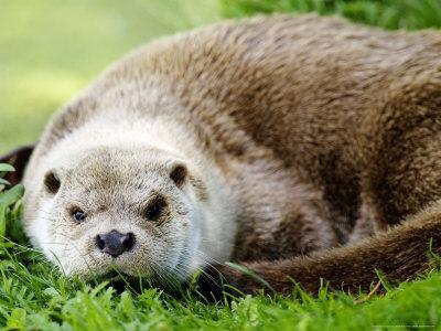 Otter, Close up of Female Otter in Grass, Earsham, UK