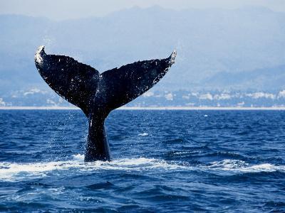 Humpback Whale, Raising Flukes