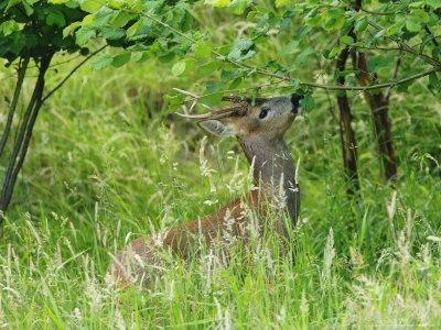 Roe Deer, Buck Reaching up to Eat Spring Leaves, Sussex, UK