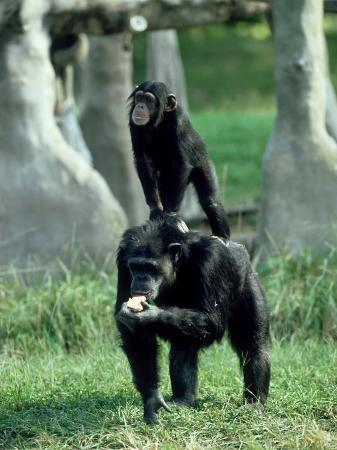 Chimpanzee, Baby Stands on Mothers Back, Zoo Animal
