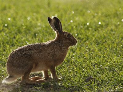 Brown Hare, Backlit Brown Hare in Green Grass, Lancashire, UK