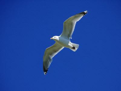 Lesser Black-Backed Gull in Flight, Pembrokeshire, UK