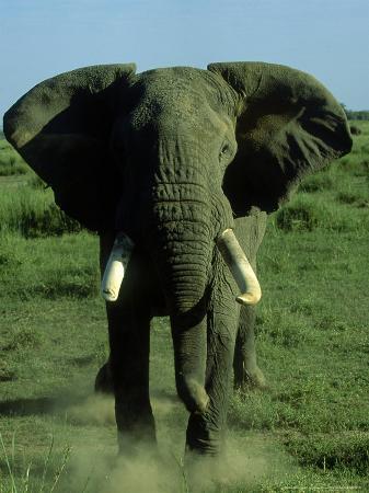 Elephant, Musth Bull Charging, Kenya