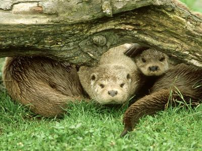 European Otter, Lutra Lutra Male & Cub Under Log on Bank