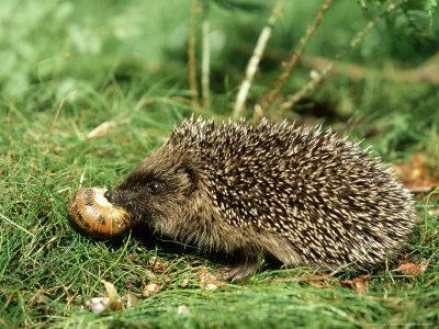 Hedgehog, Youngster Feeding on Snail, UK