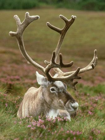 Reindeer, Portrait on Heather, Scotland