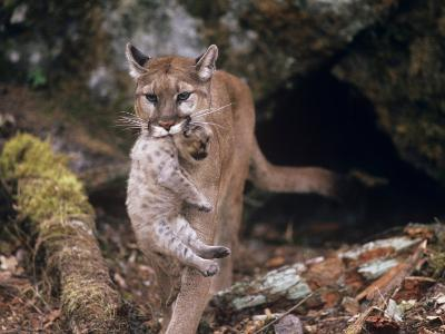 Mountain Lion, Female and Cub, USA