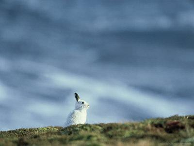 Mountain (Blue) Hare, Monadhliath Mtns, Scotland
