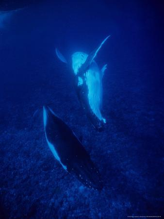 Humpback Whale, Mother and Calf, Polynesia