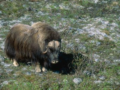 Musk Ox, Dovorfjell, Norway