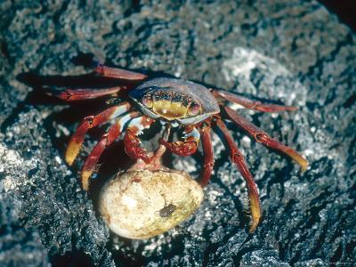 Sally Lightfoot Crab, Feeding on Penguin Egg, Galapagos Islands