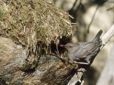 American Dipper at Nest, USA