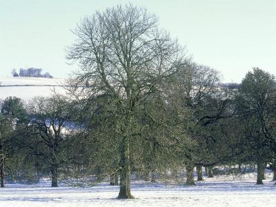 Horse Chestnut in Winter, UK